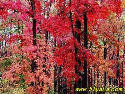 因为它处在长白山余脉,适合红叶树的生长.